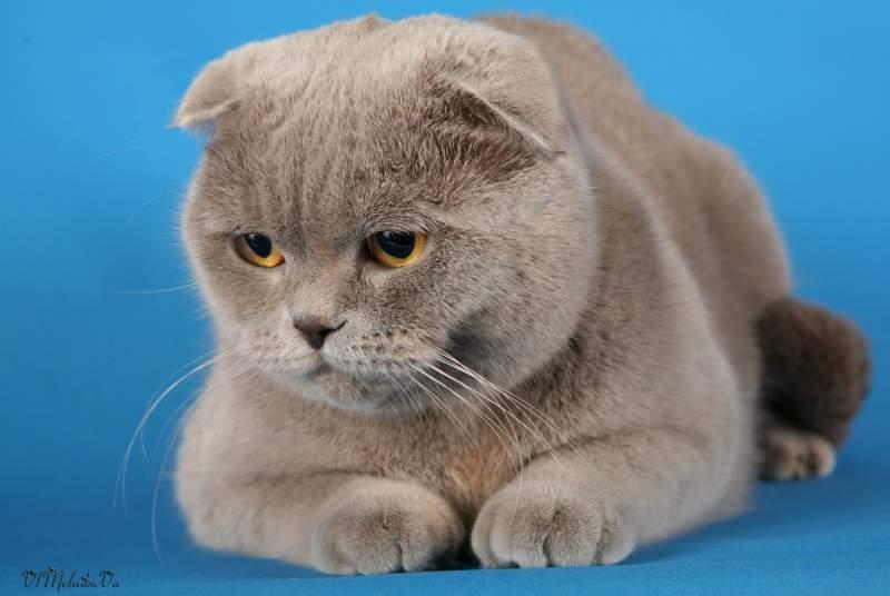 Купить кота вислоухий киев